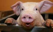 Zdjęcie świni